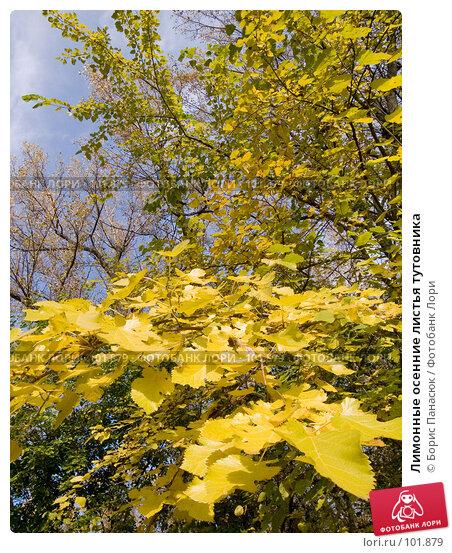 Купить «Лимонные осенние листья тутовника», фото № 101879, снято 29 сентября 2006 г. (c) Борис Панасюк / Фотобанк Лори