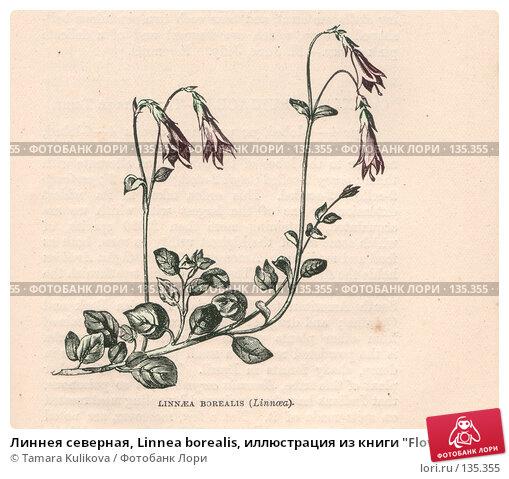 """Линнея северная, Linnea borealis, иллюстрация из книги """"Flowers of the field"""", издано в Лондоне в 1888, ручная раскраска, иллюстрация № 135355 (c) Tamara Kulikova / Фотобанк Лори"""