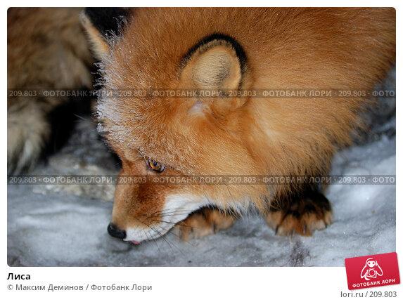 Лиса, фото № 209803, снято 10 февраля 2008 г. (c) Максим Деминов / Фотобанк Лори