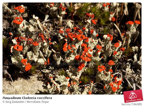 Купить «Лишайник Cladonia coccifera», фото № 134855, снято 15 августа 2006 г. (c) Serg Zastavkin / Фотобанк Лори