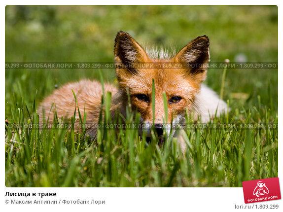 Лисица в траве, фото № 1809299, снято 19 июня 2010 г. (c) Максим Антипин / Фотобанк Лори