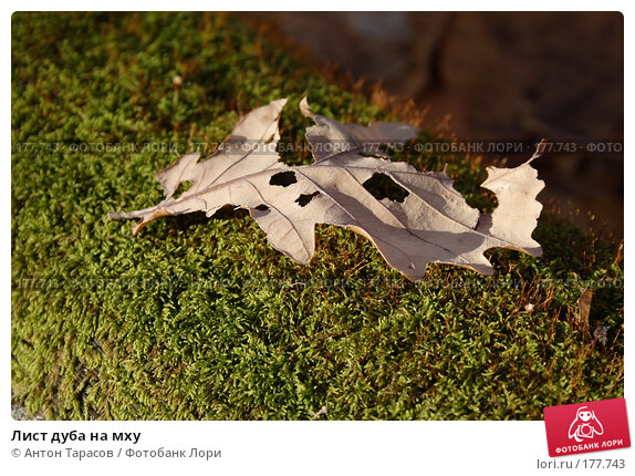 Лист дуба на мху, фото № 177743, снято 28 марта 2017 г. (c) Антон Тарасов / Фотобанк Лори