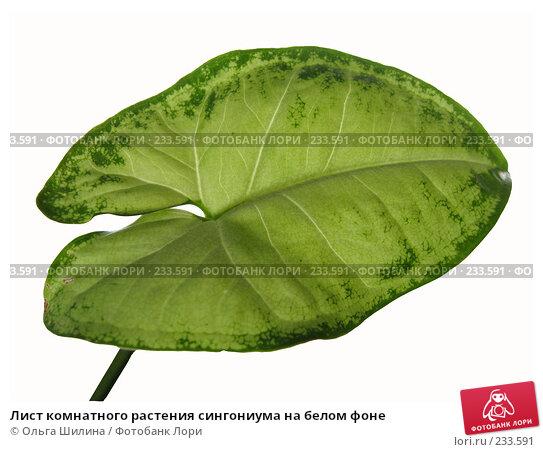 Лист комнатного растения сингониума на белом фоне, фото № 233591, снято 20 марта 2008 г. (c) Ольга Шилина / Фотобанк Лори