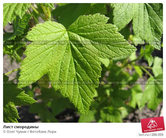 Лист смородины, фото № 288059, снято 22 апреля 2008 г. (c) Олег Чумак / Фотобанк Лори