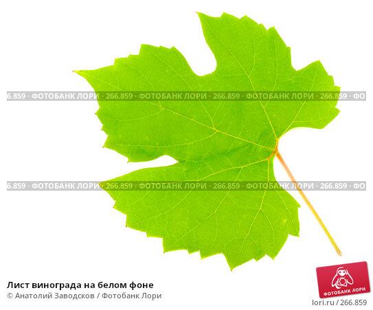 Лист винограда на белом фоне, фото № 266859, снято 1 октября 2006 г. (c) Анатолий Заводсков / Фотобанк Лори