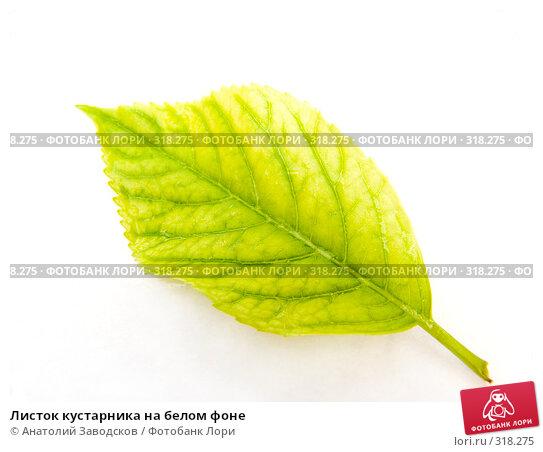 Листок кустарника на белом фоне, фото № 318275, снято 16 мая 2006 г. (c) Анатолий Заводсков / Фотобанк Лори