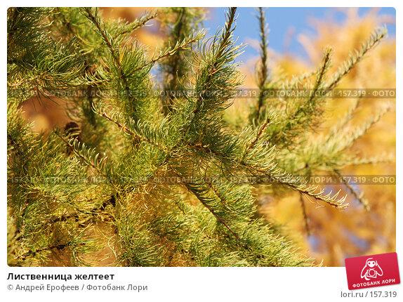 Лиственница желтеет, фото № 157319, снято 12 октября 2005 г. (c) Андрей Ерофеев / Фотобанк Лори