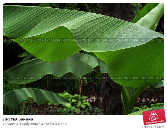 Купить «Листья банана», фото № 161899, снято 22 апреля 2018 г. (c) Галина  Горбунова / Фотобанк Лори