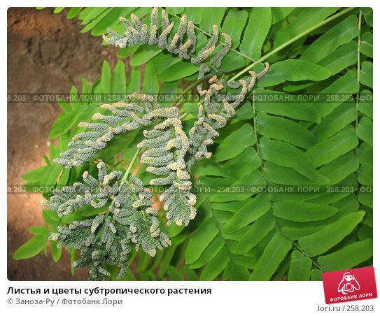 Листья и цветы субтропического растения, фото № 258203, снято 12 апреля 2008 г. (c) Заноза-Ру / Фотобанк Лори