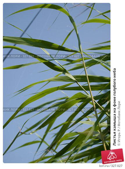 Купить «Листья камыша на фоне голубого неба», фото № 327027, снято 13 июня 2008 г. (c) Игорь Р / Фотобанк Лори