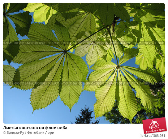 Листья каштана на фоне неба, фото № 303931, снято 24 мая 2008 г. (c) Заноза-Ру / Фотобанк Лори