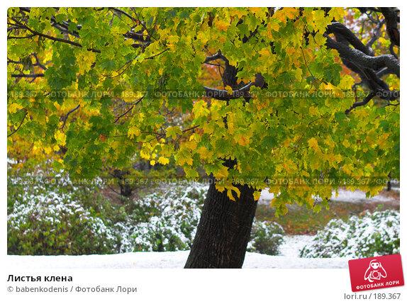 Листья клена, фото № 189367, снято 14 октября 2007 г. (c) Бабенко Денис Юрьевич / Фотобанк Лори