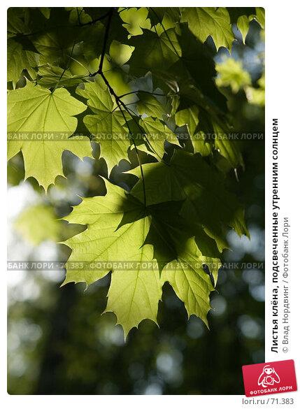 Листья клёна, подсвеченные утренним солнцем, фото № 71383, снято 20 мая 2007 г. (c) Влад Нордвинг / Фотобанк Лори