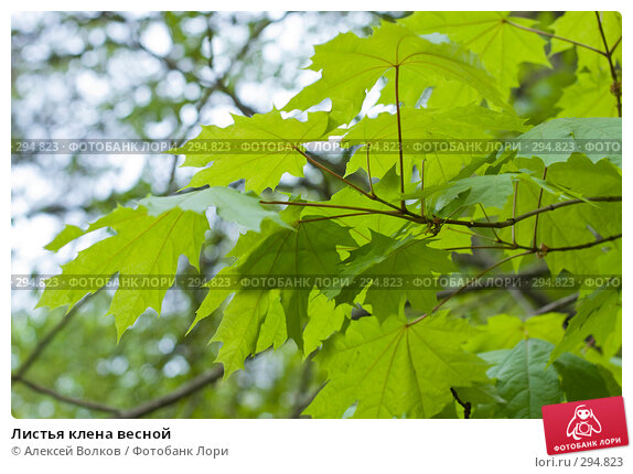 Листья клена весной, фото № 294823, снято 22 октября 2016 г. (c) Алексей Волков / Фотобанк Лори