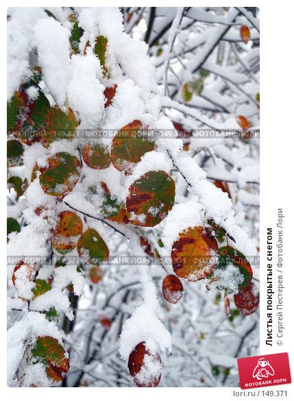 Листья покрытые снегом, фото № 149371, снято 14 октября 2007 г. (c) Сергей Пестерев / Фотобанк Лори