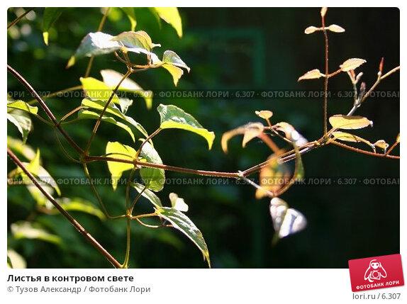 Листья в контровом свете, фото № 6307, снято 10 июля 2006 г. (c) Тузов Александр / Фотобанк Лори
