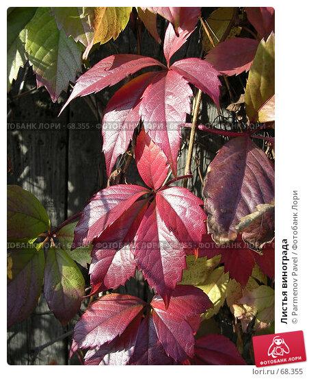 Листья винограда, фото № 68355, снято 20 сентября 2006 г. (c) Parmenov Pavel / Фотобанк Лори