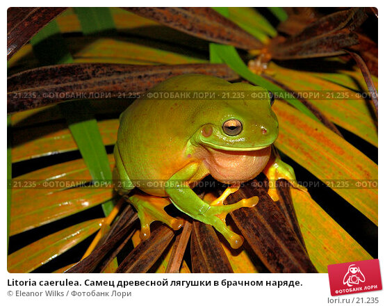 Litoria caerulea. Самец древесной лягушки в брачном наряде., фото № 21235, снято 3 февраля 2007 г. (c) Eleanor Wilks / Фотобанк Лори