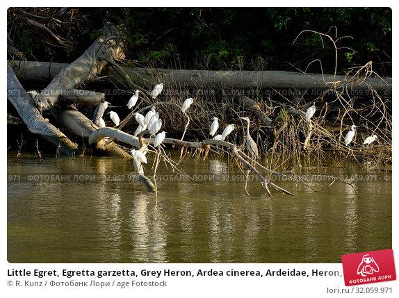 Little Egret, Egretta garzetta, Grey Heron, Ardea cinerea, Ardeidae, Heron, bird, animal, Danube, Bulgaria. Стоковое фото, фотограф R. Kunz / age Fotostock / Фотобанк Лори