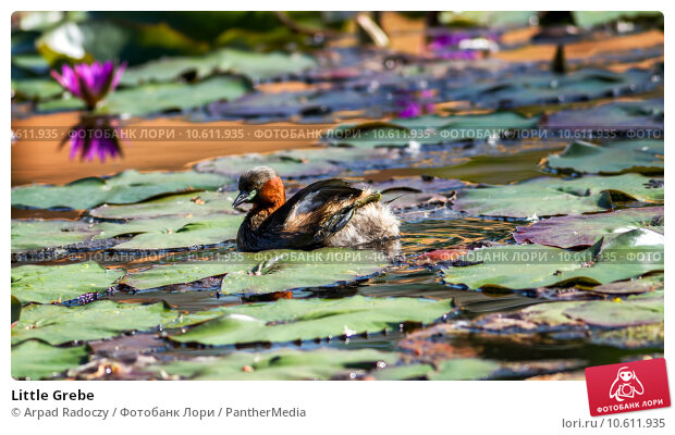 Little Grebe. Стоковое фото, фотограф Arpad Radoczy / PantherMedia / Фотобанк Лори
