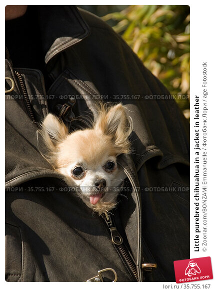 Little purebred chihuahua in a jacket in leather. Стоковое фото, фотограф Zoonar.com/BONZAMI Emmanuelle / age Fotostock / Фотобанк Лори
