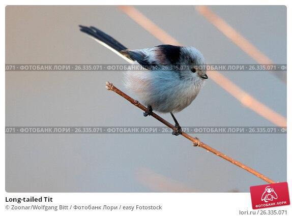 Long-tailed Tit, фото № 26335071, снято 16 августа 2017 г. (c) easy Fotostock / Фотобанк Лори