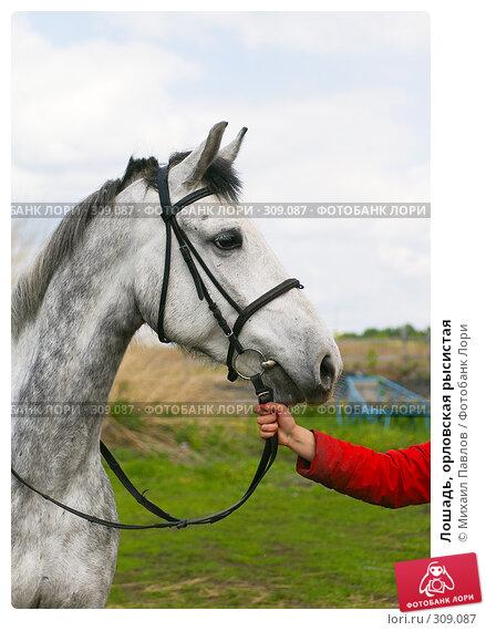 Лошадь, орловская рысистая, фото № 309087, снято 27 мая 2008 г. (c) Михаил Павлов / Фотобанк Лори