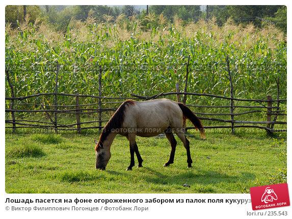 Лошадь пасется на фоне огороженного забором из палок поля кукурузы. Абхазия, Кавказ, фото № 235543, снято 28 августа 2006 г. (c) Виктор Филиппович Погонцев / Фотобанк Лори