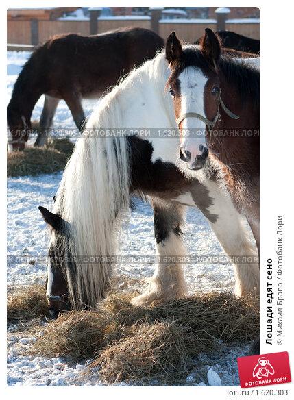 Купить «Лошади едят сено», фото № 1620303, снято 10 января 2010 г. (c) Михаил Браво / Фотобанк Лори