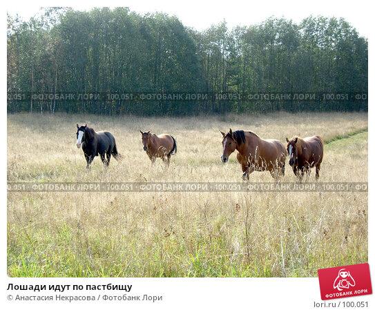 Лошади идут по пастбищу, фото № 100051, снято 26 сентября 2007 г. (c) Анастасия Некрасова / Фотобанк Лори