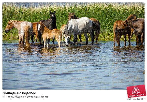 Лошади на водопое, фото № 76991, снято 16 июня 2007 г. (c) Игорь Жоров / Фотобанк Лори