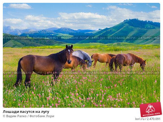 Купить «Лошади пасутся на лугу», фото № 2470091, снято 12 июля 2010 г. (c) Вадим Ралко / Фотобанк Лори