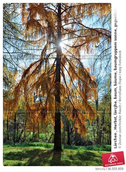 Lärchen , Herbst, lärcjhe, baum, bäume, baumgruppem sonne, gegenlicht... Стоковое фото, фотограф Zoonar.com/Volker Rauch / easy Fotostock / Фотобанк Лори