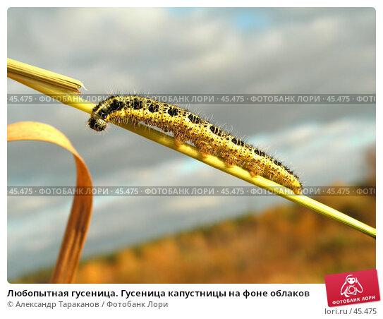 Любопытная гусеница. Гусеница капустницы на фоне облаков, фото № 45475, снято 30 апреля 2017 г. (c) Александр Тараканов / Фотобанк Лори