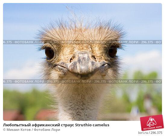 Любопытный африканский страус Struthio camelus, фото № 296375, снято 13 мая 2008 г. (c) Михаил Котов / Фотобанк Лори