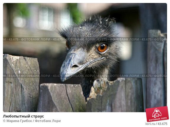 Любопытный страус, фото № 43675, снято 20 мая 2006 г. (c) Марина Грибок / Фотобанк Лори