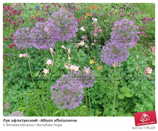 Лук афлатунский - Allium aflatunense, фото № 179231, снято 24 июня 2006 г. (c) Беляева Наталья / Фотобанк Лори