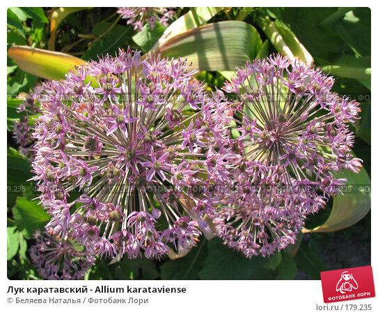 Лук каратавский - Allium karataviense, фото № 179235, снято 22 июня 2006 г. (c) Беляева Наталья / Фотобанк Лори
