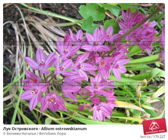 Лук Островского - Allium ostrowskianum, фото № 179227, снято 7 июля 2007 г. (c) Беляева Наталья / Фотобанк Лори
