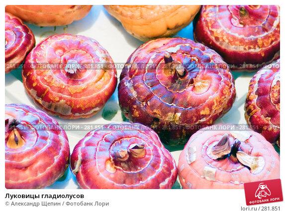 Луковицы гладиолусов, эксклюзивное фото № 281851, снято 10 мая 2008 г. (c) Александр Щепин / Фотобанк Лори