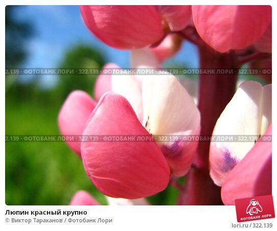 Люпин красный крупно, эксклюзивное фото № 322139, снято 13 июня 2008 г. (c) Виктор Тараканов / Фотобанк Лори