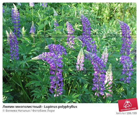 Люпин многолистный - Lupinus polyphyllus, фото № 206199, снято 22 июня 2006 г. (c) Беляева Наталья / Фотобанк Лори