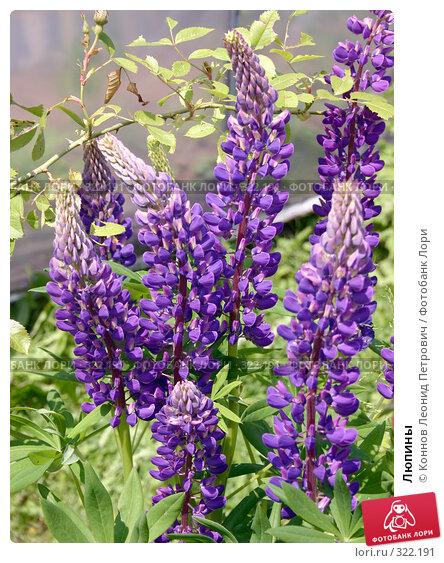 Люпины, фото № 322191, снято 14 июня 2008 г. (c) Коннов Леонид Петрович / Фотобанк Лори