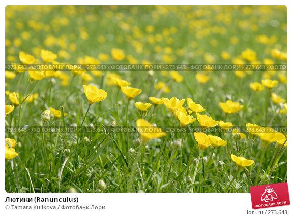 Лютики (Ranunculus), фото № 273643, снято 5 мая 2008 г. (c) Tamara Kulikova / Фотобанк Лори