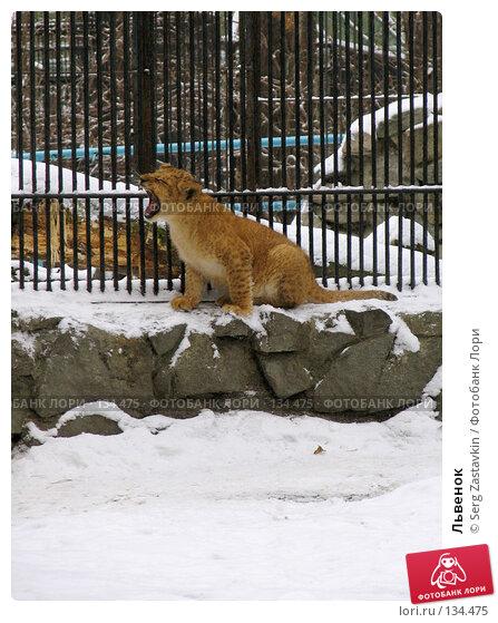 Львенок, фото № 134475, снято 7 ноября 2004 г. (c) Serg Zastavkin / Фотобанк Лори