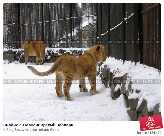 Львёнок. Новосибирский Зоопарк, фото № 134479, снято 7 ноября 2004 г. (c) Serg Zastavkin / Фотобанк Лори