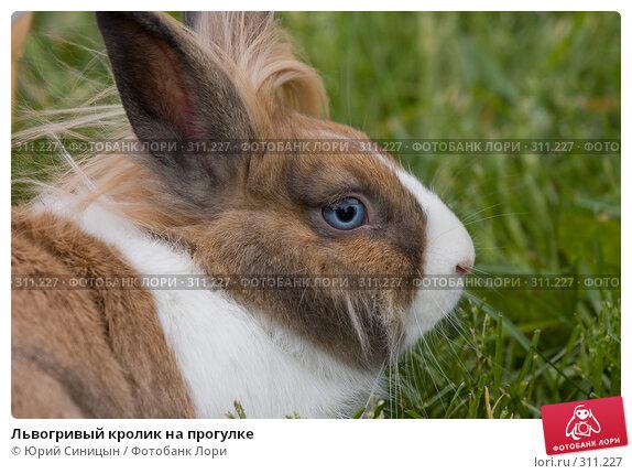 Львогривый кролик на прогулке, фото № 311227, снято 31 мая 2008 г. (c) Юрий Синицын / Фотобанк Лори