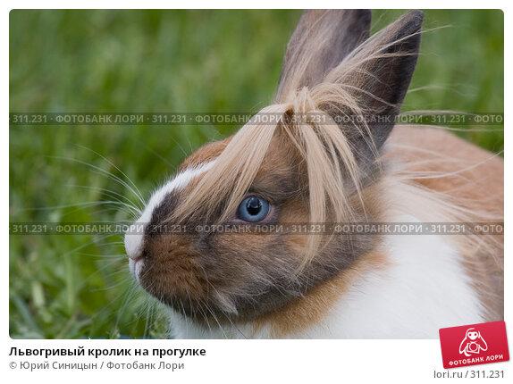 Львогривый кролик на прогулке, фото № 311231, снято 31 мая 2008 г. (c) Юрий Синицын / Фотобанк Лори