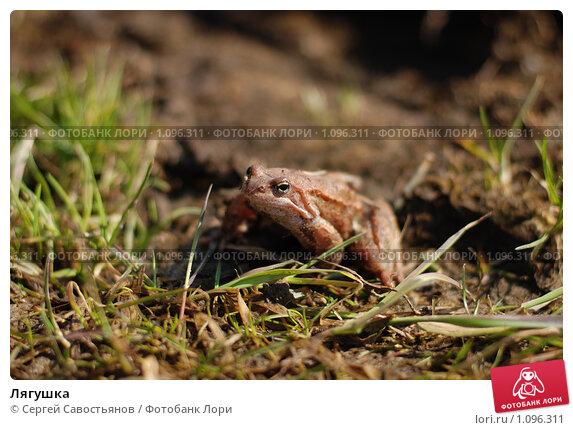 Лягушка. Стоковое фото, фотограф Сергей Савостьянов / Фотобанк Лори