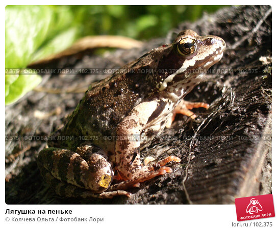 Лягушка на пеньке, фото № 102375, снято 20 июля 2017 г. (c) Колчева Ольга / Фотобанк Лори